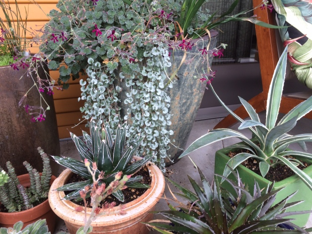 CAM plants on my porch: Pelargonium, Dichondra, Crassula, Dyckia, Agave, Echeveria