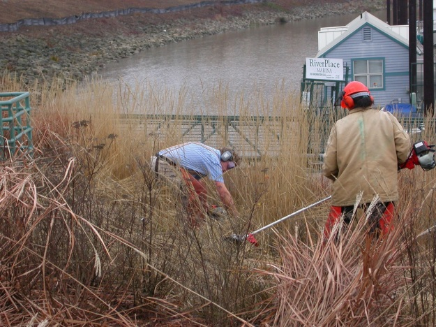 Cutting down the one acre plus of ornamental grasses above Riverplace Marina, Feb. of '03