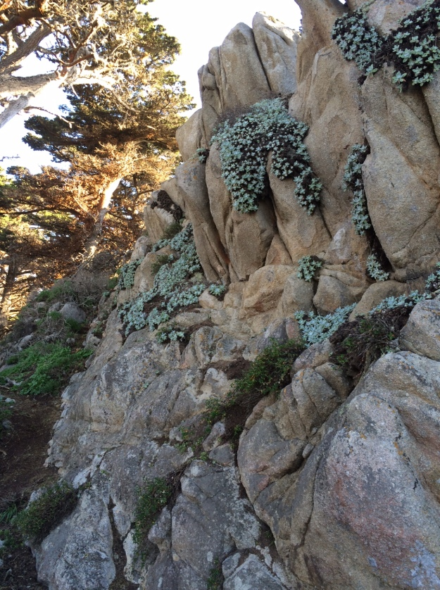 This fractured rock face has a northerly aspect and is kept relatively cool by its proximity to the Pacific.  This is at Point Lobos.  Dudleya farinosa grows on its face, the 'soil' it needs is adequate and its roots slowly work to produce more, shedding organic tissue and raising the acidity of its own cramped little 'rhizosphere'.  The Dudleya is further aided by being a CAM plant matching its needs with limited resources available to it.