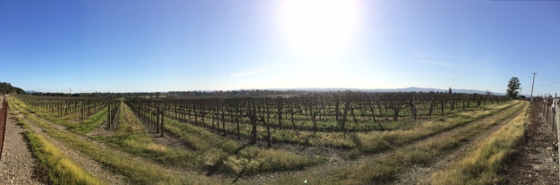 A vineyard just outside Windsor, CA.  I don't know anything about this operation in terms of its use of agrichemical inputs.  In my ignorance, it is beautiful