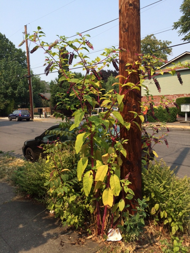 Pokeweed, Phytolucca americana in my neighborhood growing in a parking strip well over my 6'2