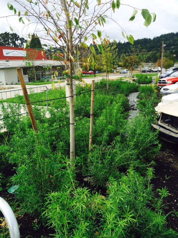 More Choysia here planted with Birch trees.