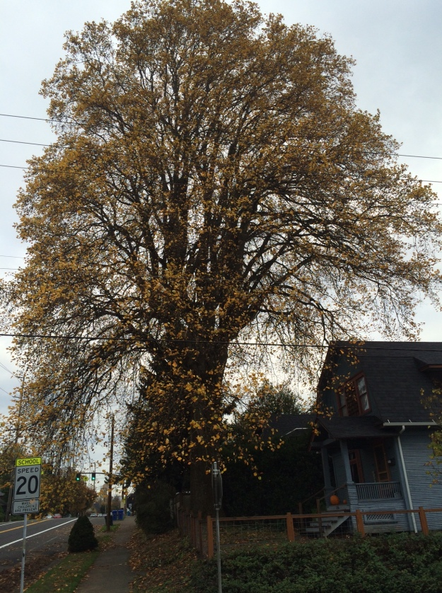 This Liriodendron tulipifera, a heritage tree in my neighborhood, has a canopy over 90' across. It is a beautiful and dominating tree dropping tons of drain clogging leaves and negating any need for actual street trees in the vicinity.