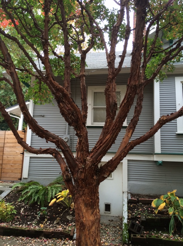 There are 4 of these Acer griseum, Paperbark Maples, in this planting that are growing with some vigor. Planted along a west facing strip they receive some protection by the structure and trees across the street. There growth is restricted to a very narrow space and are growing in a nearly 'flat' fan so as not to conflict with the sidewalk and street. This exposes a very ungainly structure.