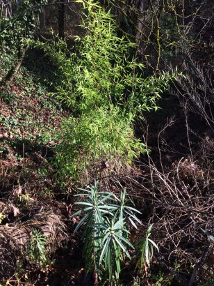 A Phyllostachys, Bamboo, and a Euphorbia, Gopher Spurge, with English Ivy running up the slope in the back. Weeds arrive in many ways sometimes by bird, sometimes as contaminatants in purchased materials and other times intentionally brought in, by you or somebody else.