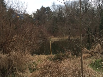 The pond in the south eastern 'corner' of the Canyon at the upper spring is pooled up behind a beaver dam. The collapsing winter structure of the course grasses that dominate much of this area are Reed Canary Grass.