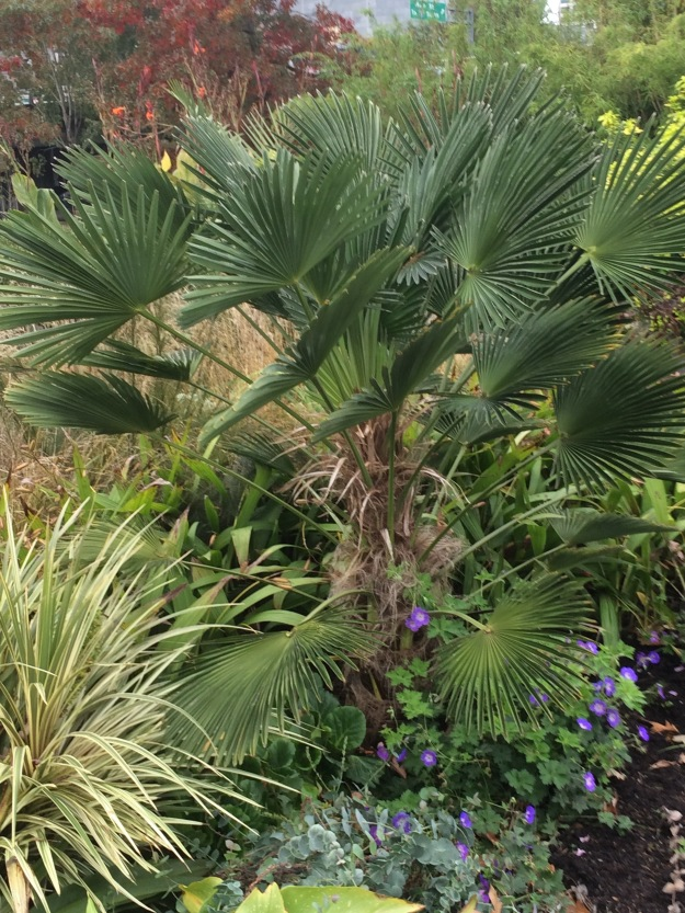 Trachycarpus wagnerianus with the Cordyline front left.