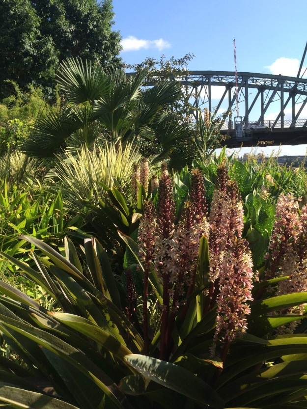 Here the Eucomis blooms in the foreground