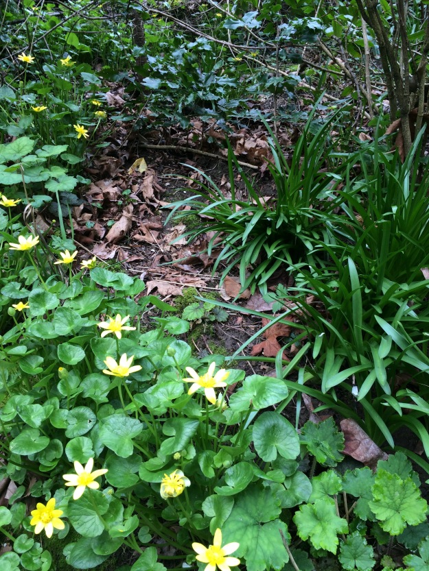 Below one of the private residences where much woody material has been cleared. It is common in this eastern section to find Ranunculus ficaria, the Lesser Celandine, and the bulb, Common Squill or Scilla sp.