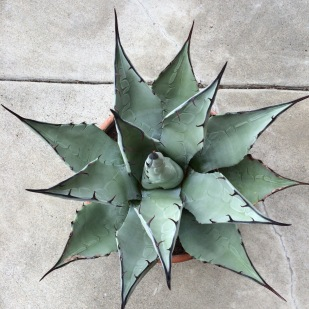 This little Agave parryi var. parry was gifted to me by a friend last summer, the hardiest form of the species grows northerly into Utah and the Colorado Plateau. This shot emphasizes its beautiful rosette and its strongly contrasting decurrent terminal spines, the darker tissue which runs downward along the margins.