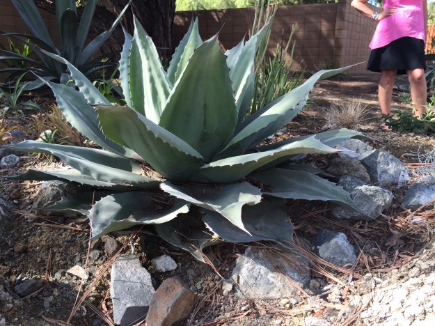 My picture, but not my plant. Alas! I just potted my start up to a 1gal purchased from Sean at Cistus. Agave ovatifolia 'Vanzie'. Several of these big beautiful cultivars are growing in the Bancroft Garden. It is distinguished from the species by its undulating longitudinal waves across the wide guttered leaves.