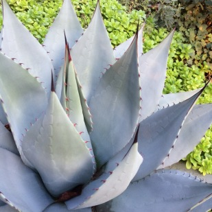This plant has a beautiful even coloration with the curved brownish/red marginal spines and darker terminal spines.