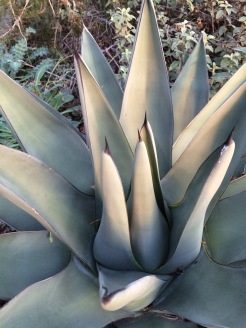 This is my Agave 'Sharkskin' before the onset of flowering