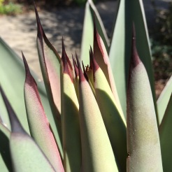 I took this close up as I noticed the reddish hue to the new emerging leaves and a rapid increase in new leaves crowding the center of the rosette as the peduncle begins its rise from the meristem below.