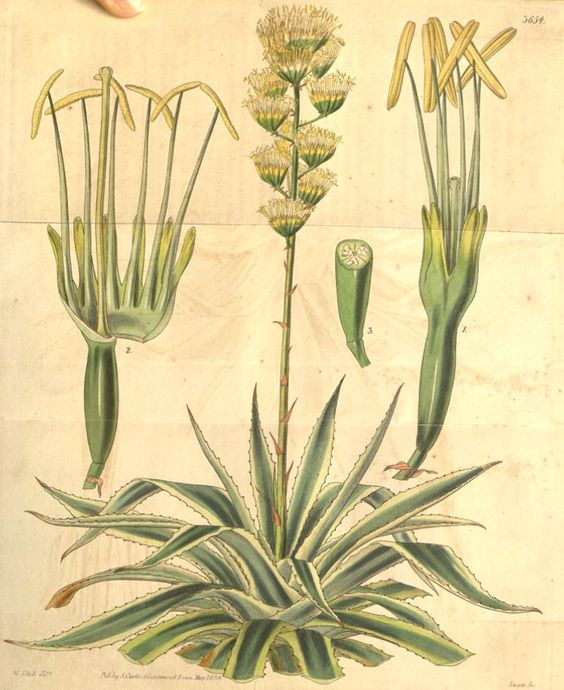 Agave americana from Curtis's Botanical Magazine 1838 showing clearly the structure of its flowers