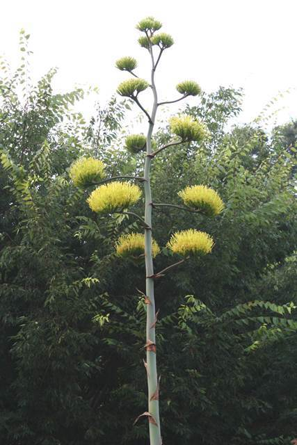 This picture of the inflorescence of an Agave scabra is from Tony Avent of Plant Delights taken of a plant in North Carolina's JC Raulston Arboretum. As mine has not yet opened any of its flowers yet and, to the best of my knowledge, known others have flowered here in Portland to photograph.