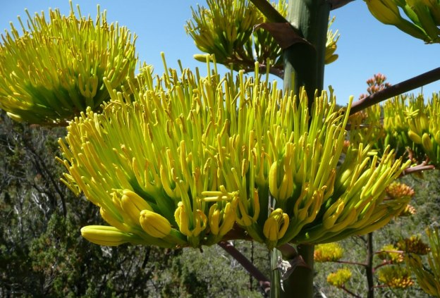 A Parry's agave flower cluster. Nectar-feeding bats are the main pollinators. Photo by Charlie McDonald.