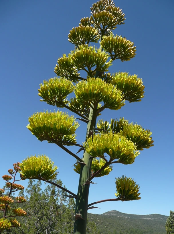 Looking up at a Parry's agave flower stalk. The stalks are up to 20 feet tall and developed at a rate of up to 4 inches a day. Photo by Charlie McDonald.