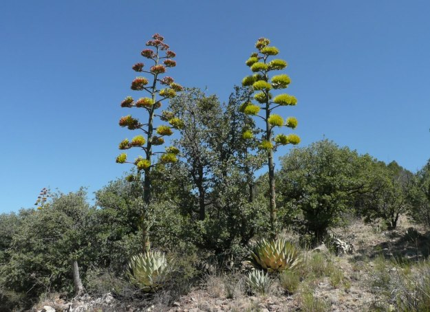 A matching pair of Agave parryi blooming simultaneously above the surrounding scrub.