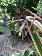 Bilbergia nutans 'Variegata' a member of the Bromeliaceae