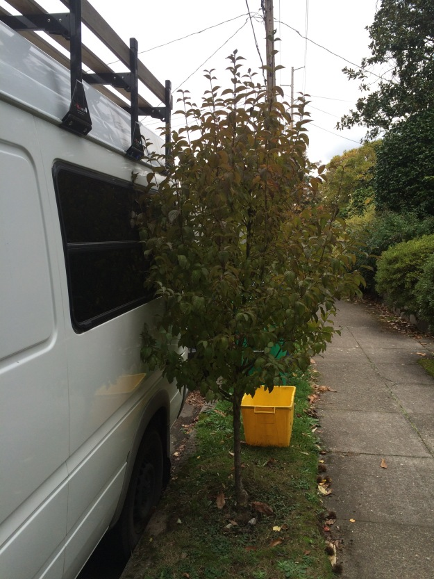 A small growing tree is not an automatic in a narrow parking strip.