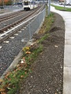 The third picture, adjacent to McLaughlin Blvd, shows the track area that is managed weed free, with sterilants, and the raised gravel base of the sidewalk, unplanted, without a retaining wall, collapsing and filling with weeds, a landscape problem created by a poor engineering solution.