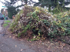 This pile of growth is a mixture of the big three, Knotweed, Blackberry and Clematis its seed mature and ready to spread.