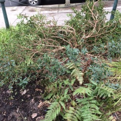 In the same bed at Chapman Square this softwooded Daphne tangutica was splayed out by the snow with the fallen Elm branch adding to the insult.