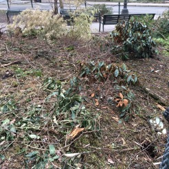 Not the best picture, I was probably shaking, as I observed almost every plant in this bed that I planted several years ago heavily damaged from Mahonia gracillipes to Rhododendron yakushimanum to the beautiful and rare bamboo, Phyllostachys bambusoides 'Richard Haubrich' . Debris from the dropped Elm limb remains broken on the ground.