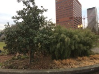 This is the north side of Jefferson Circle downtown, the bamboo 'hedge' is Fargesia sp. 'Jiuzhaigou' IV and like others suffered no damage from our snows nor the ice that typically can hit downtown. To the left is Magnolia laevifolia 'Large Form'. All of these seem to be tough sturdy trees with only a few that I've heard about suffering significant damage. Typically M. grandiflora, even its dwarf forms, were hit hard all over the region.