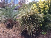 This shot show a palm, Butia x Jubea, to the left which is structurally undamaged by the snow. We'll have to wait until later to see if it suffered any significant cold damage. The Cordyline australis 'Torbay Dazzler' is part of my original planting and has suffered some damage in past winters, not the las two. It is listed as a Zn 9a plant good to down to 25ºF, this is the first time it dropped below that, but I really don't know how cold this site got. The Choysia 'Sundance' to the right appears to be undamaged by cold or snow weight. The historic cold snap in early February '89 was much more severe and decimated Choysia ternate all over the City.