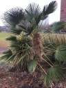 Trachycarpus wagnerianus, with its stiffer and smaller diameter fronds stood up to the snow without a problem or any lasting impact.