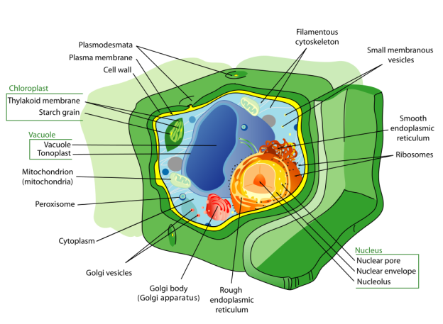 Plant cell structure, public domain from Wiki-Pedia