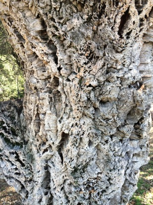 The beautiful deep textured bark of Cork Oak. This one in Lake Merritt, Oakland, CA.