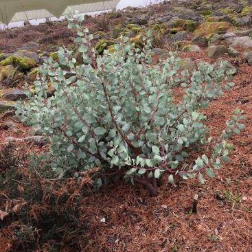 Arctostaphylos viscida 'Sweet Adinah' in January looking good. Evergreens give mass and form to the winter garden.