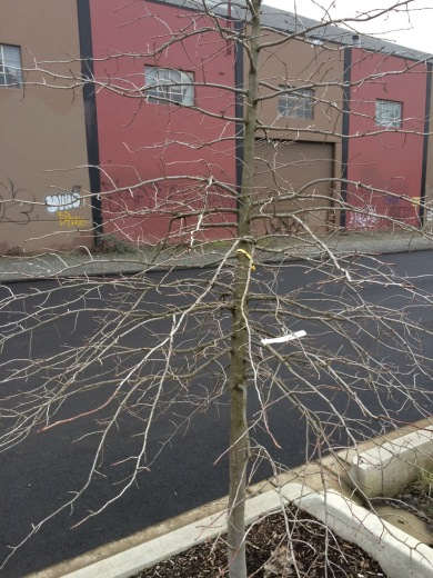 This is young Nyssa sylvatica, often known as Tupelo, planted along Trimet's new Orange Line, to my thinking, for many reasons an ideal tree here. Normally it grows with a strong central leader, branches with broad angles of attachment that remain relatively small in diameter, is deciduous with strong/flexible wood and is relatively narrow given it's height. Its beautiful full color, resistance to drought and heavy winter wet soils are a plus.