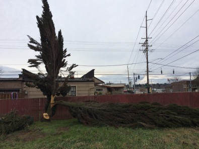 This Boulevard Cypress failed in two stages, first the major split rent the trunk weakening the entire structure. The larger trunk, attached to the lower cut, split and fell later.