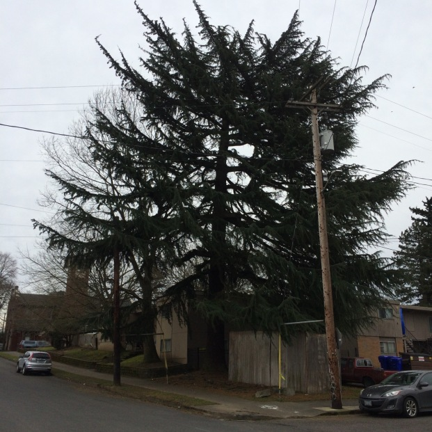 "Deodar Cedar tend to grow with a single leader like this one, but it is not uncommon for them to develop competing leaders. These tend to be broad heavily branched growers that commonly lose large branches and suffer huge tear outs from lost leaders. This one lost two 8""+ diameter limbs in the recent snow dropping 15'-20' to the sidewalk. These are a fast growing conifer, a reason they are often planted and another reason their wood is relatively weak."