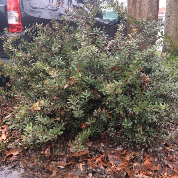 A. x 'Pacific Mist'. This plant is in my parking strip and has to be regularly tipped back to keep it out of the street and off the sidewalk, causing it to perhaps pile up on itself more. This plant is over 3' tall and pushing out of its 4' wide space.