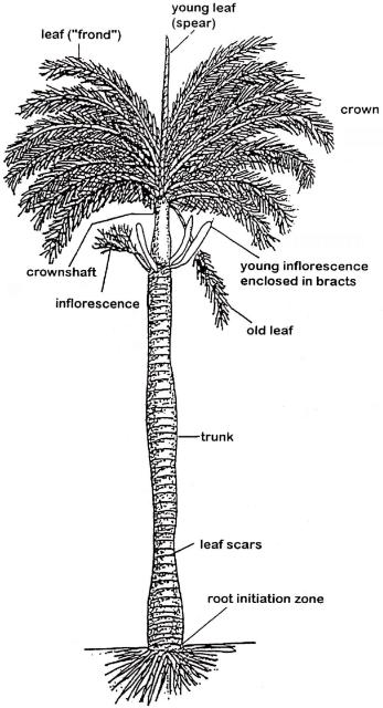 Generalized    Palm    Morphology  credit A W Meerow  UF IFAS