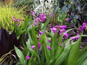 The Chinese Ground Orchid, Bletilla striata with clockwise left, other monocots, Eucomis 'sparkling burgundy', Carex elata 'Bowle's Golden' and the white variegated Arundo donax.