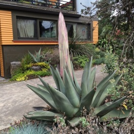 My Agave 'Sharkskin' in April of '16 in the early stages of its flowering.