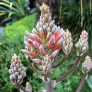 Aloe saponaria...nuff said.