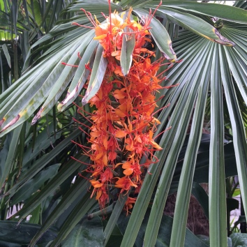 Hedychium greenii, a hardy true Ginger, is a member of the Zingeberaceae, another family within the Monocot clade. It's raceme carries many 3-parted flowers.