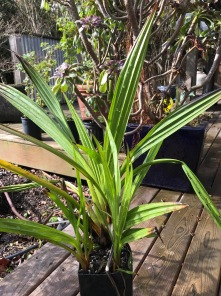 Wachendorffia thysiflora has foliage with deep corrugations and parallel, length running veins from to tip down to their modified stems...very reminiscent of the juvenile foliage of Palms.