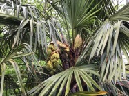 The emerging inflorescences on one of my Trachycarpus fortuneii Palms, this one a male.