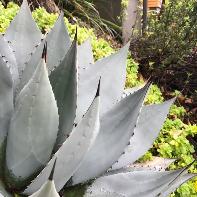 Agave parryii 'Hauchuca Blue', while the veins are not readily obvious in the appearance of its leaves, Agave are extremely fibrous, all running from their base to their spiny tips.
