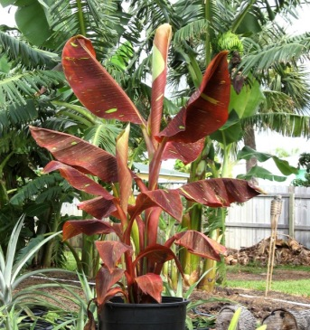 This Siam Ruby Banana is a selection of Musa, one of the genera that forms a spreading matt from which will grow multiple pseudo-stems over time.
