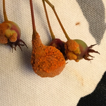 A few fruit of my Serviceberry showing the Aecia that will release the spores. Not exactly attractive is it?