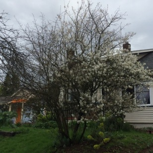 This is my neighbor's tree, the portion in bloom here is the Serviceberry, the rest, the Hawthorn bloomed earlier.